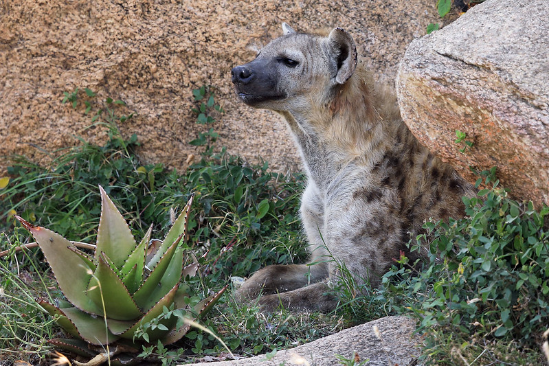 Spotted hyena, spotted!