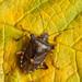 Red-legged Shieldbug/Forest Bug (Pentatoma rufipes).