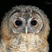 Tawny Owl Owlet