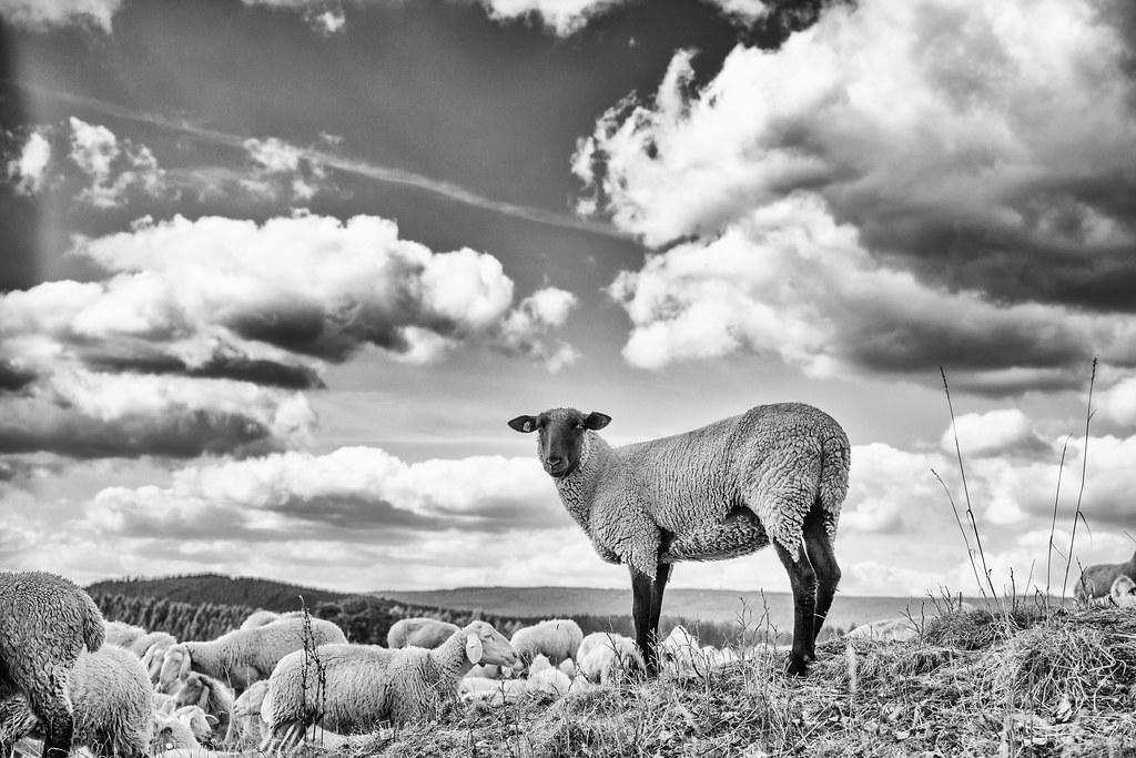 Schaap (sheep) op uitzicht