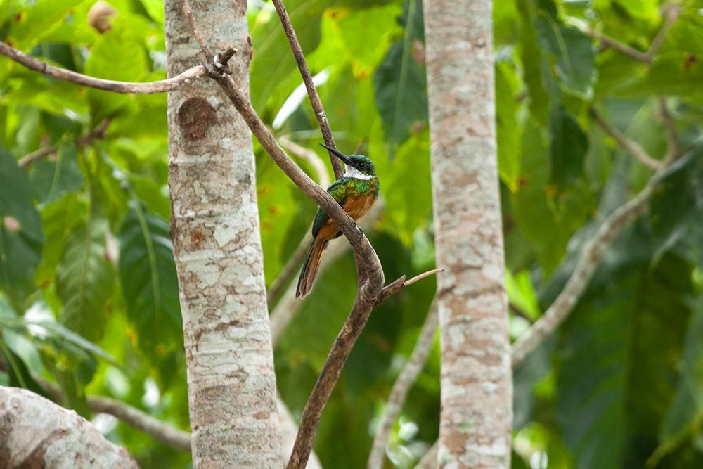 Краснохвостая якамара (Galbula ruficauda)