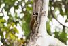 Spot-breasted Woodpecker (Colaptes punctigula)