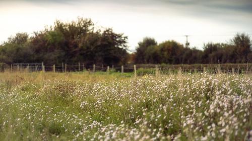 a drift of daisies