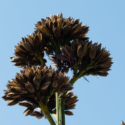 Century plant, seeding