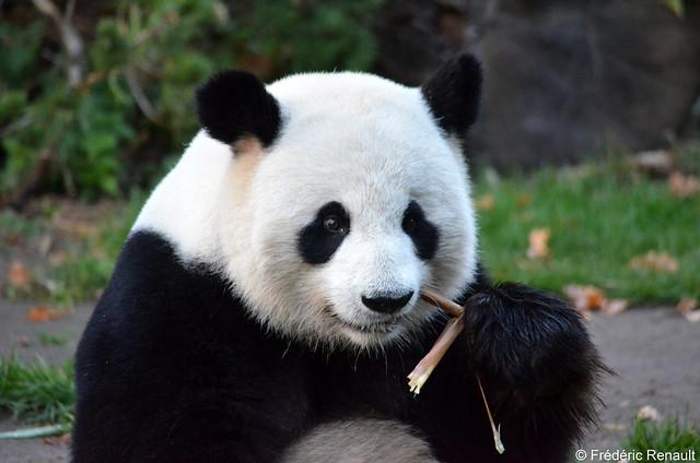 Panda, Nikon D7000, Sigma Macro 50mm F2.8 EX DG