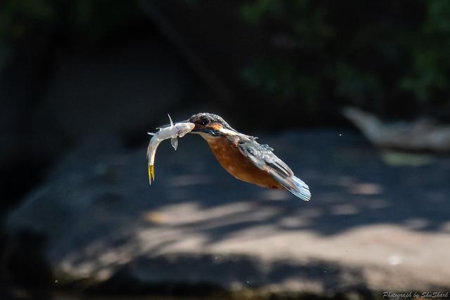20181029-kingfisher-DSC_9626