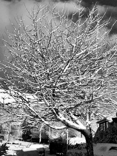 Snow tree (buckaroos70)