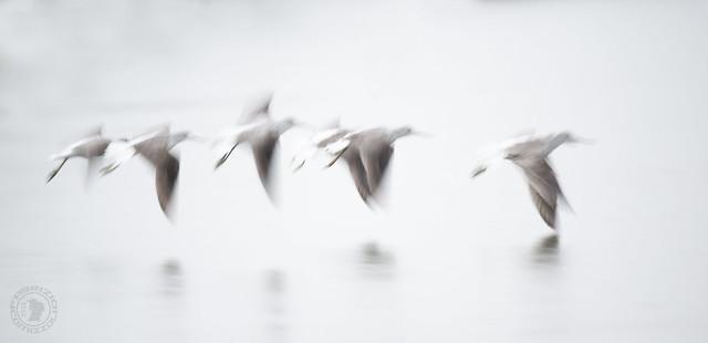 the magical flight of birds amazes me ....