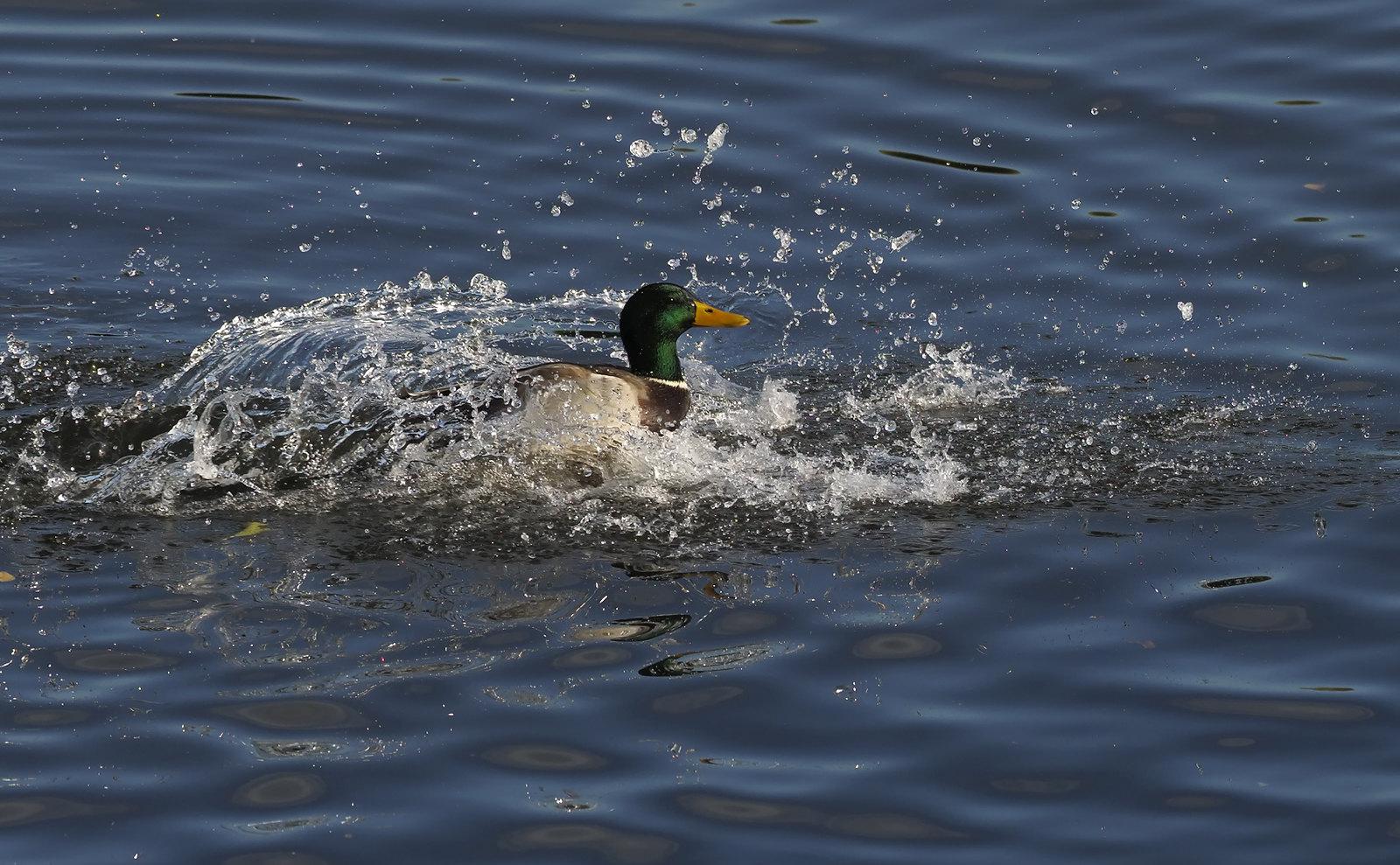 Mallard in splash landing..