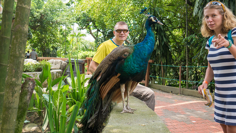Photo with peacock, KL Bird Park, Kuala Lumpur, Malaysia