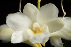 [Kalimantan Borneo, Indonesia] Dendrobium endertii J.J.Sm., Bull. Jard. Bot. Buitenzorg, sér. 3, 11: 138 (1931)