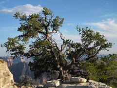 Twisted tree at the North Rim of Grand Canyon, Arizona