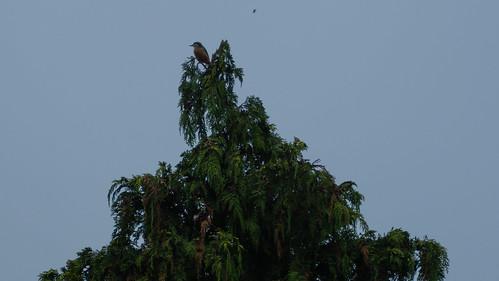 Treetop nuthatch