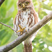 Ferruginous Pygmi-Owl / majafierro, mochuelo [Glaucidium brasilianum] Set 2018, Costa Rica