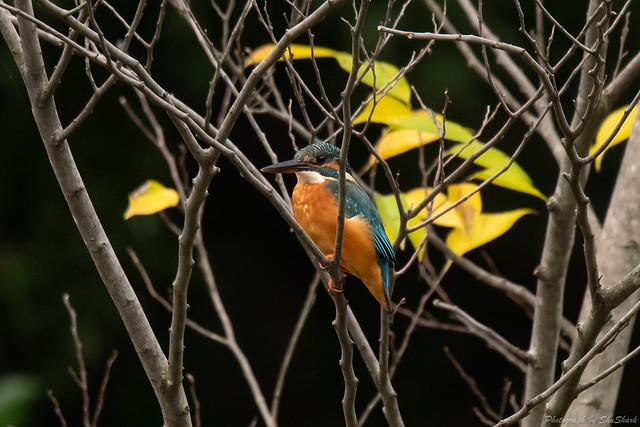20181026-kingfisher-DSC_9205