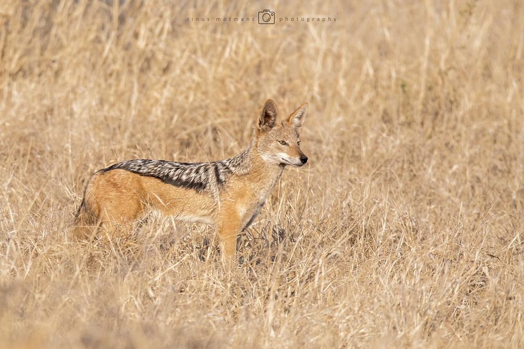 Zadeljakhals - Canis mesomelas