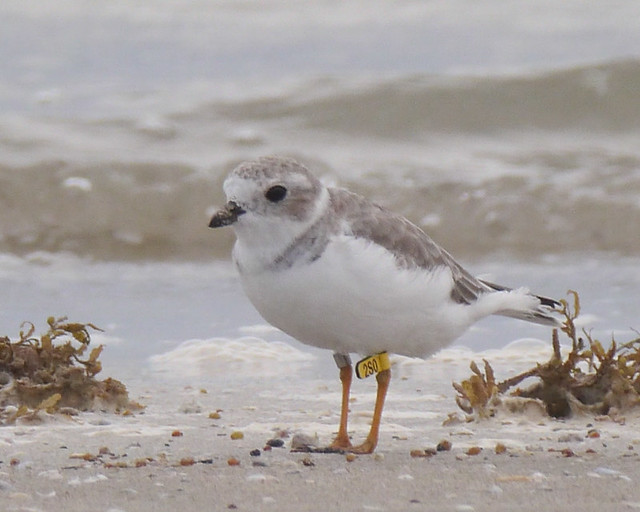 Piping Plover - 8