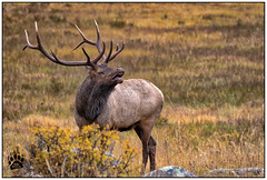 Bull Elk RMNP 092417-1219-W.jpg