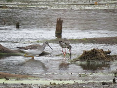 Spotted Redshank/ Ann Arbor, Michigan/ 11-4-2018