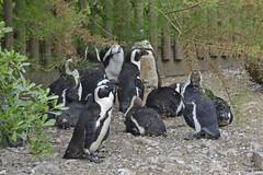 2018.06.19.069 CHAMPREPUS - Parc animalier - Manchot du Cap - Photo of Villedieu-les-Poêles