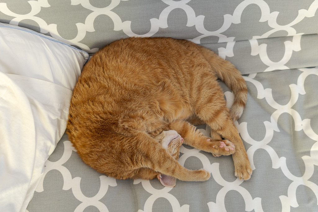 Our cat Sam curls up in a circle on the futon in my office