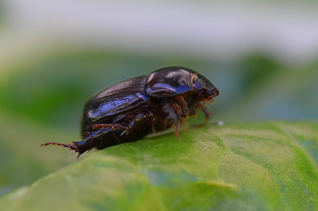 Small Sand Scarab, Nikon D7000, AF-S VR Micro-Nikkor 105mm f/2.8G IF-ED