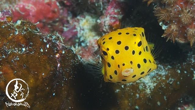 ミナミハコフグ幼魚ちゃんはぷくぷく成長中♪