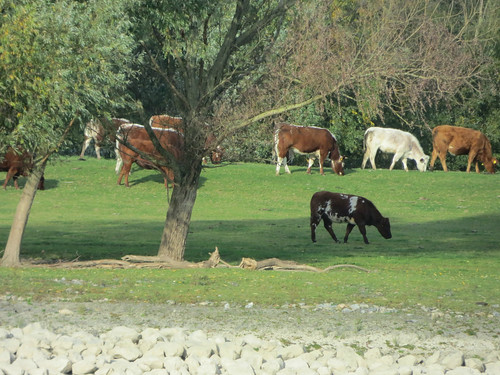 Contented cows on the shore (2 of 3)