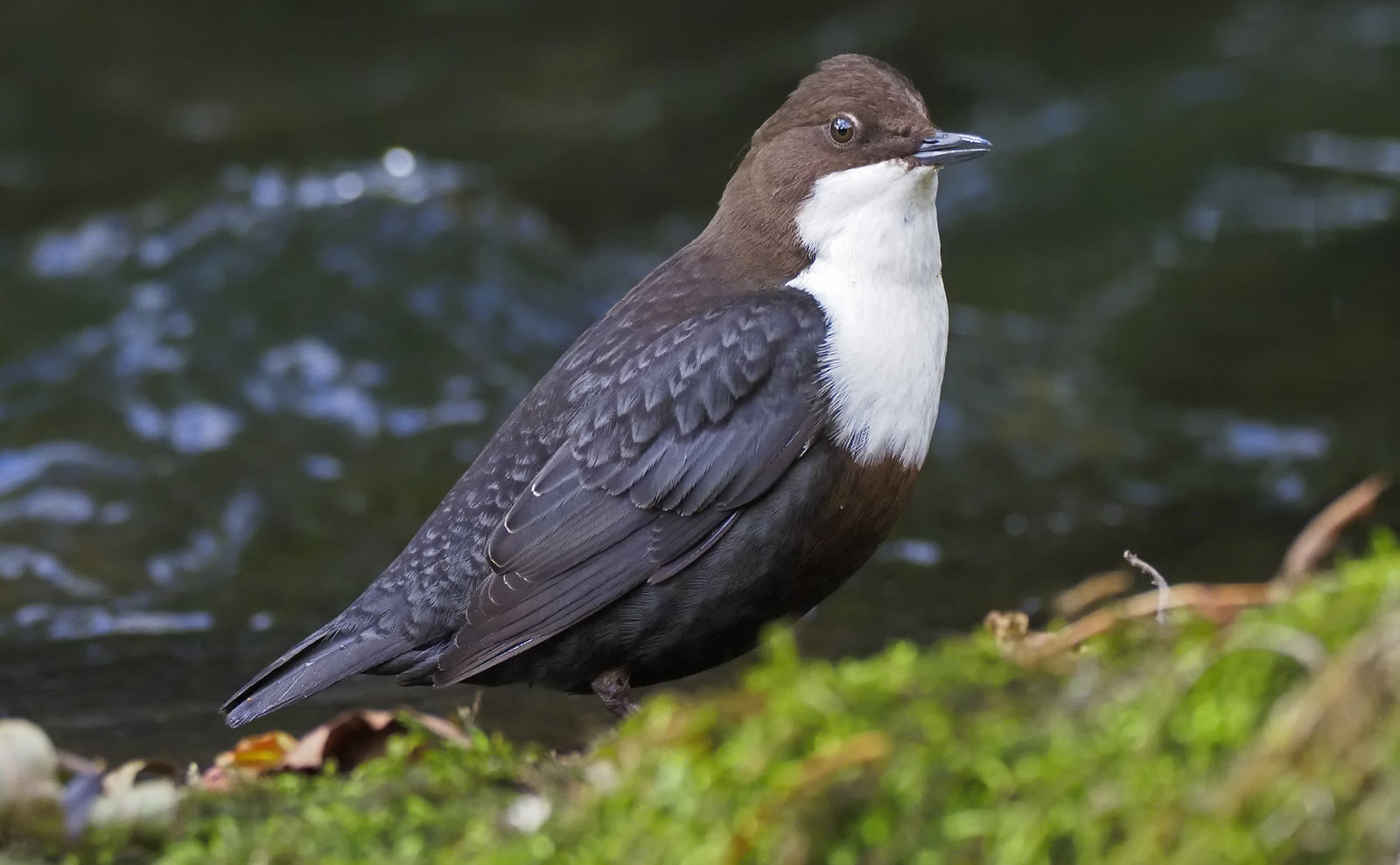 Dipper - Derbyshire