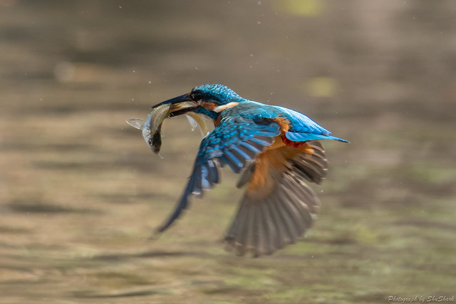 20181007-kingfisher-DSC_9015