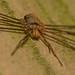 Dicranopalpus ramosus