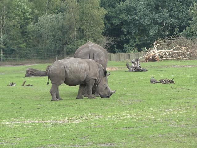 Breitmaulnashorn, Zoo Givskud