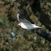 Black-headed Gull  28