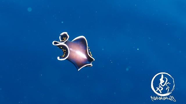 泳ぐヒラムシ
