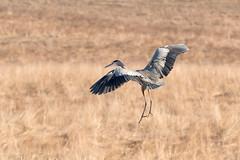 DSC_7390.jpg Great Blue Heron, East Meadow, UC Santa Cruz