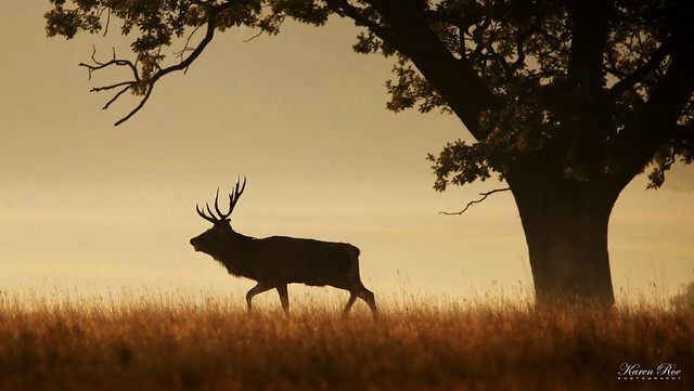Red Deer Stag with Very Sharp Glistening Antlers