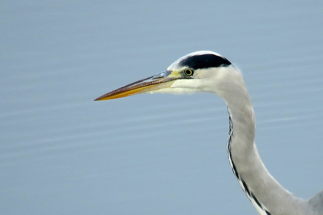 Grey Heron - Ardea cinerea