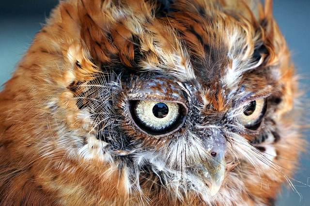 Screech owl at Montgomery County Agriculture Fair by Bob Julia