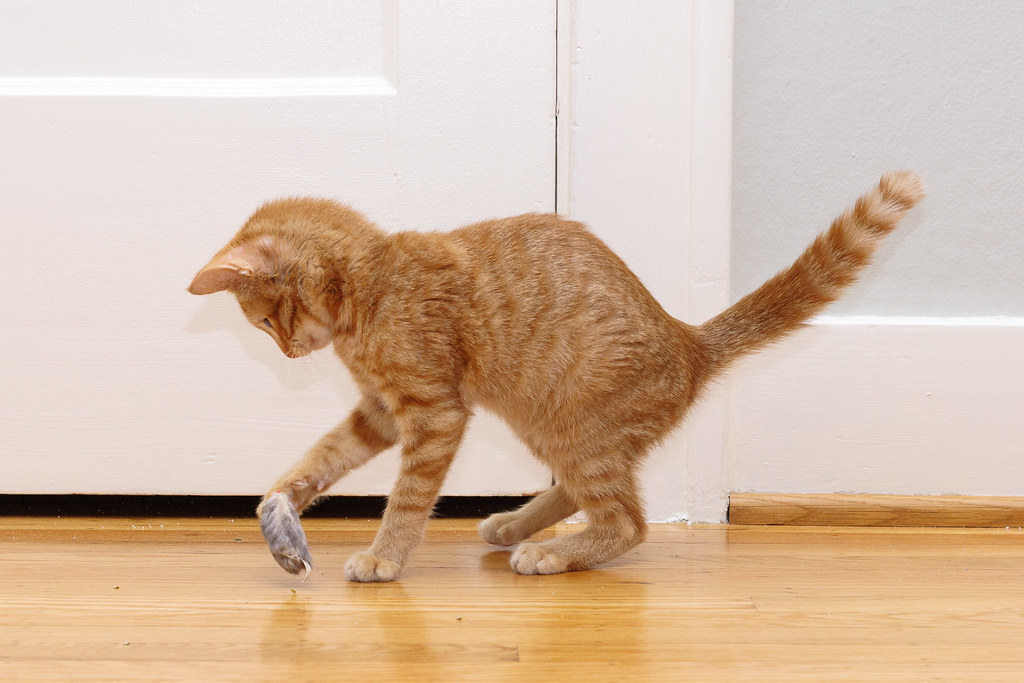 Our cat Sam playing with a toy mouse as a kitten on the hardwood floor of our guest bedroom in 2007