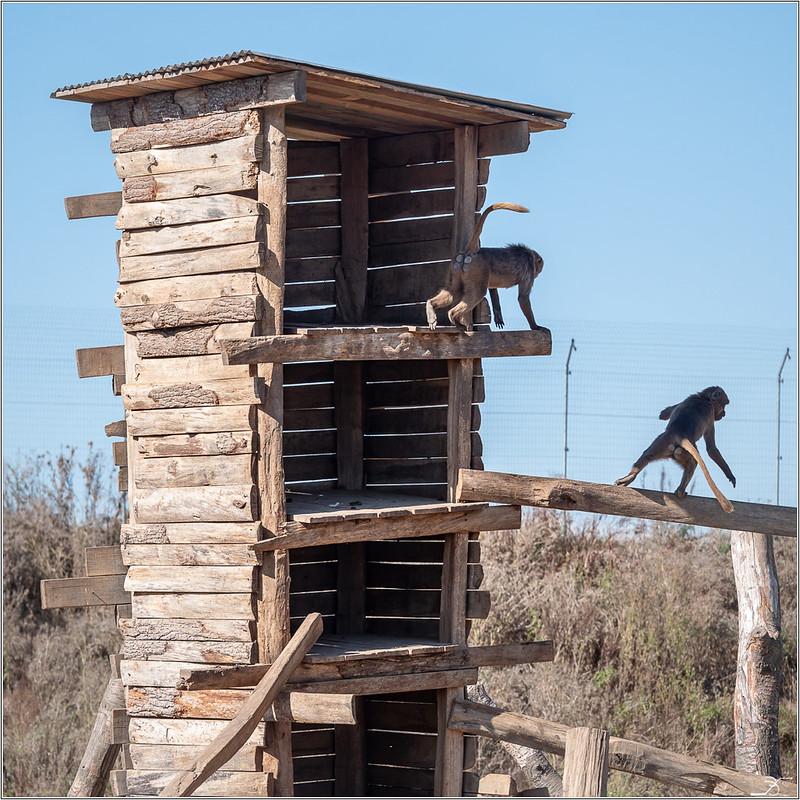 Terre des singes part4 44285217504_cecfc55a5b_c