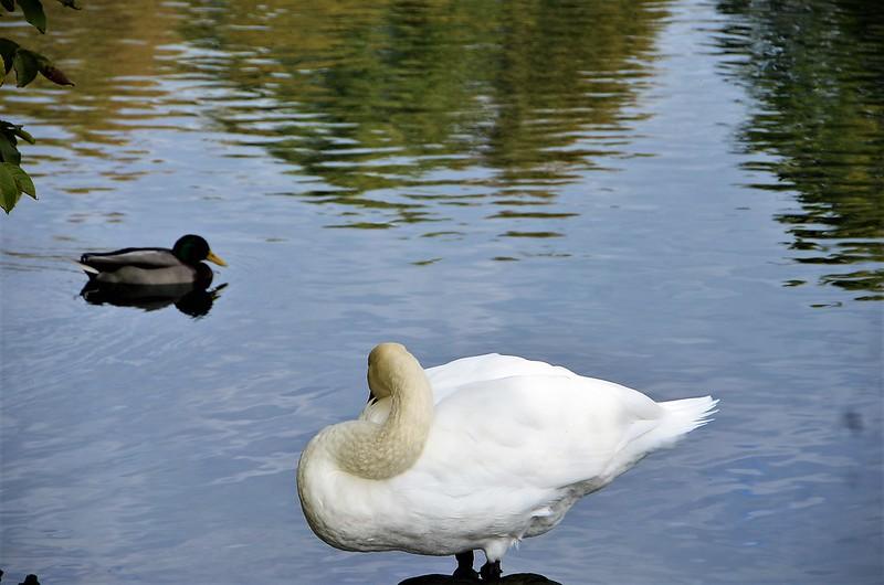 Swans 11.10 (6)