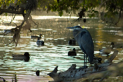 Blue Heron 0433