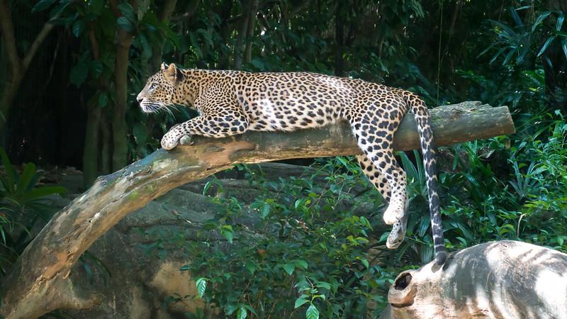 Leopard, Singapore Zoo