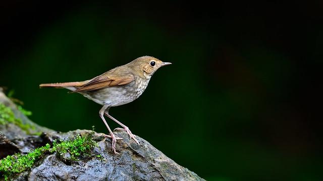 紅尾歌鴝/Rufous-tailed Robin, Nikon D850, AF-S VR Nikkor 500mm f/4G ED