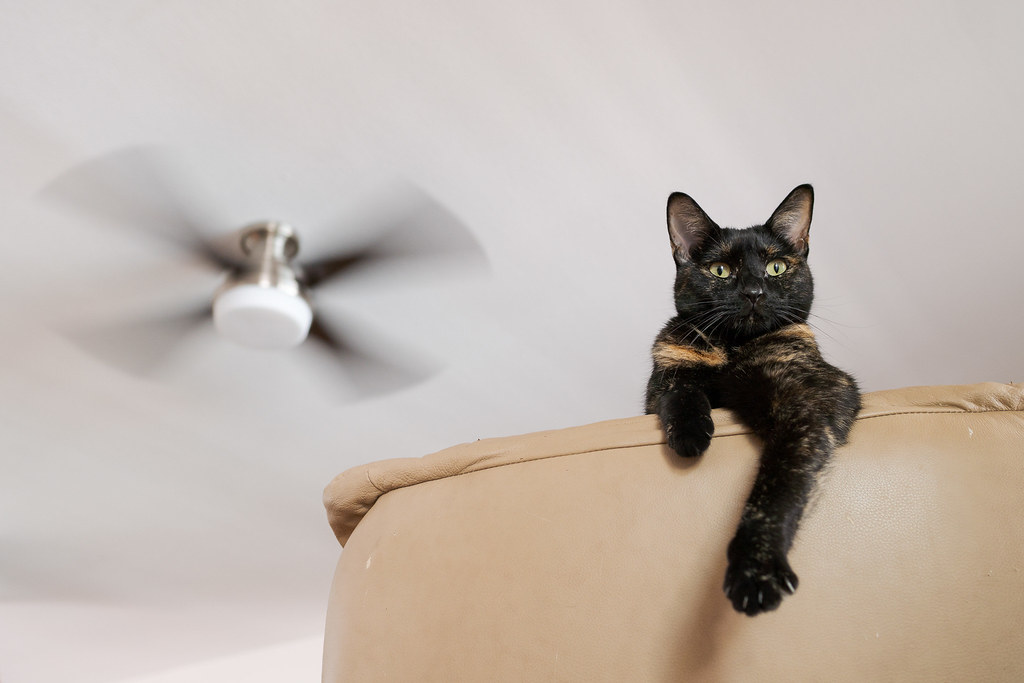 Our cat Trixie sticks her front legs over the top of the chair as a ceiling fan spins in the background while unseen behind the chair she is pressing up against the head and neck of my wife