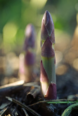 17 Fresh asparagus
