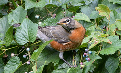 robin with porcelainberry