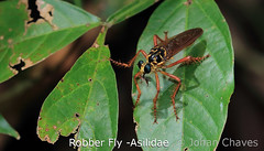 Robber fly -Asilidae