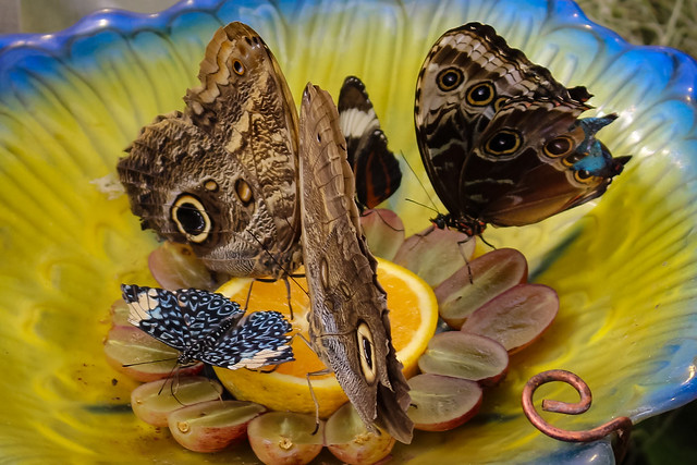 Butterflies feeding, Canon EOS REBEL SL1, Canon EF-S 18-55mm f/3.5-5.6 IS STM