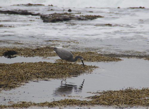 White Faced Heron, Sandon Point